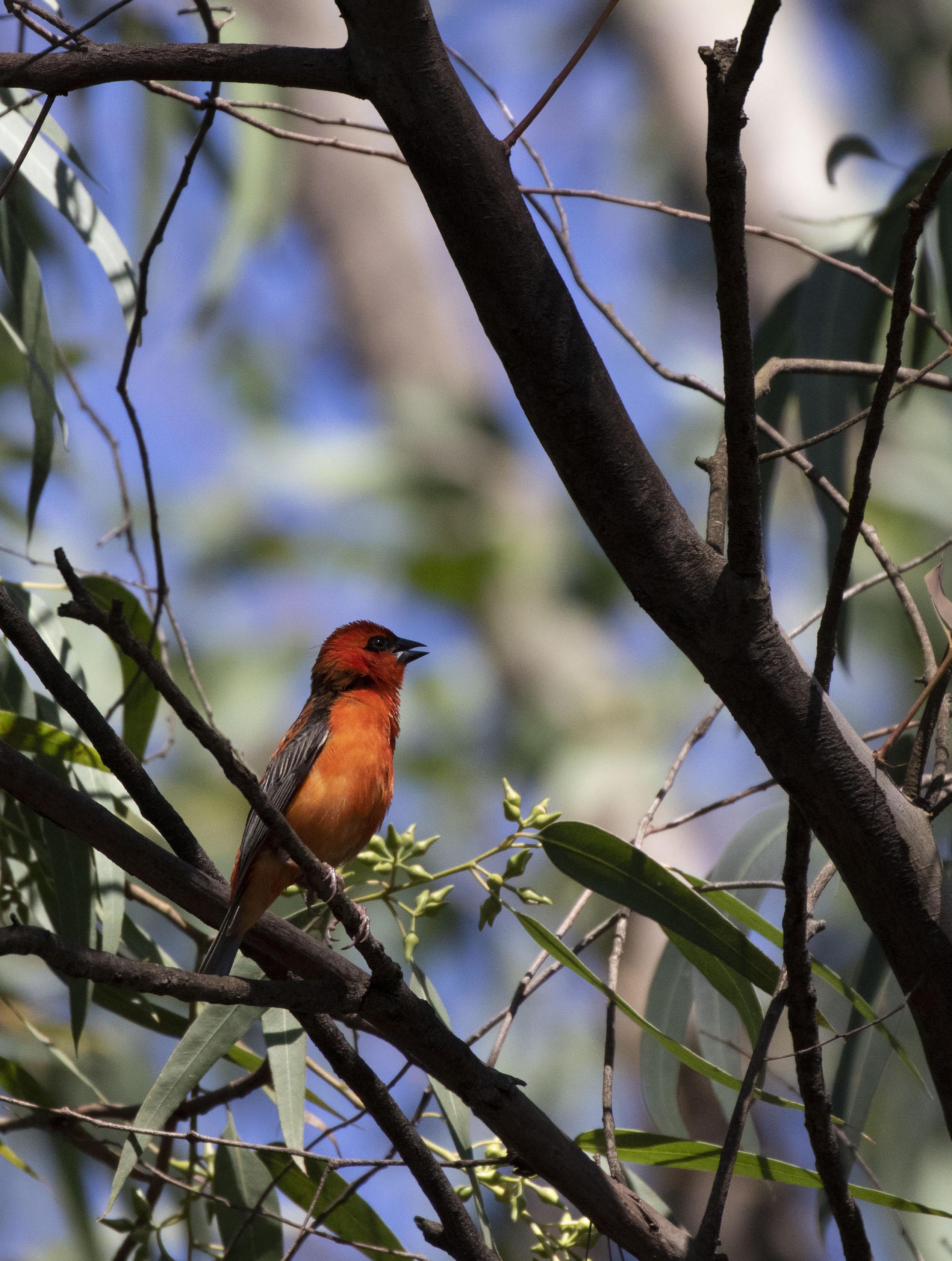 Madagascar Cardinal
