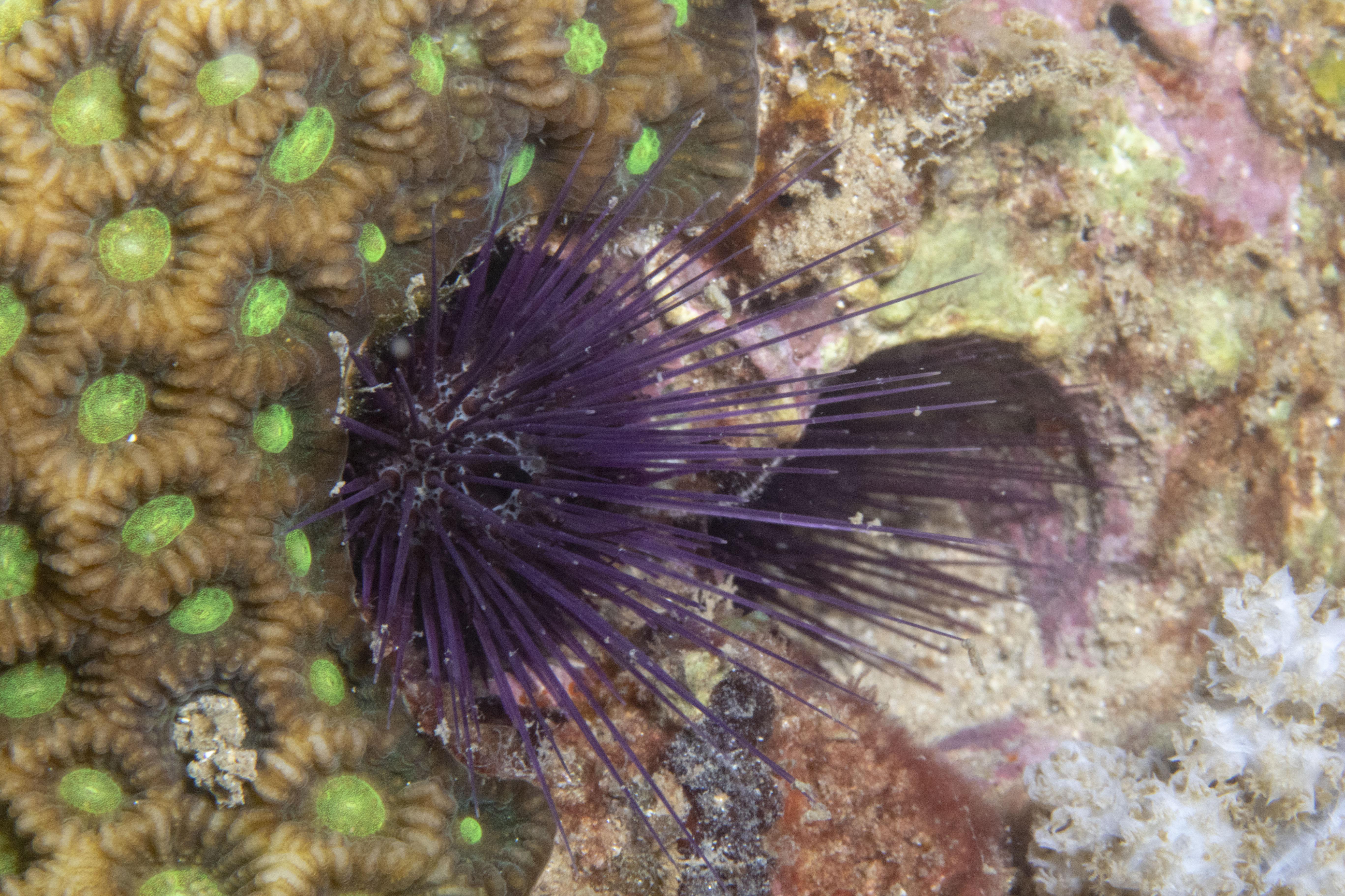 Echinostrephus