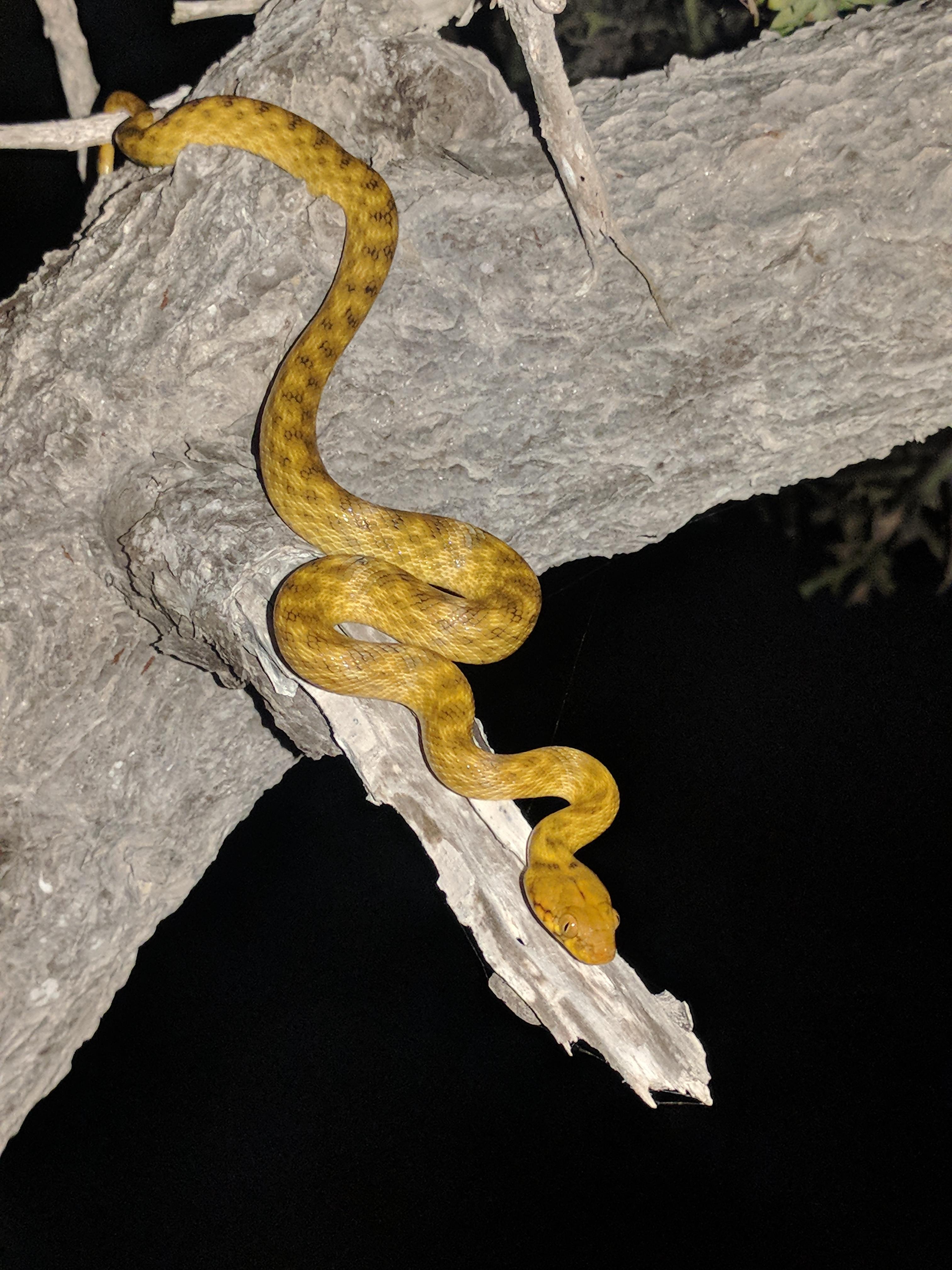 Madagascar Cat Snake