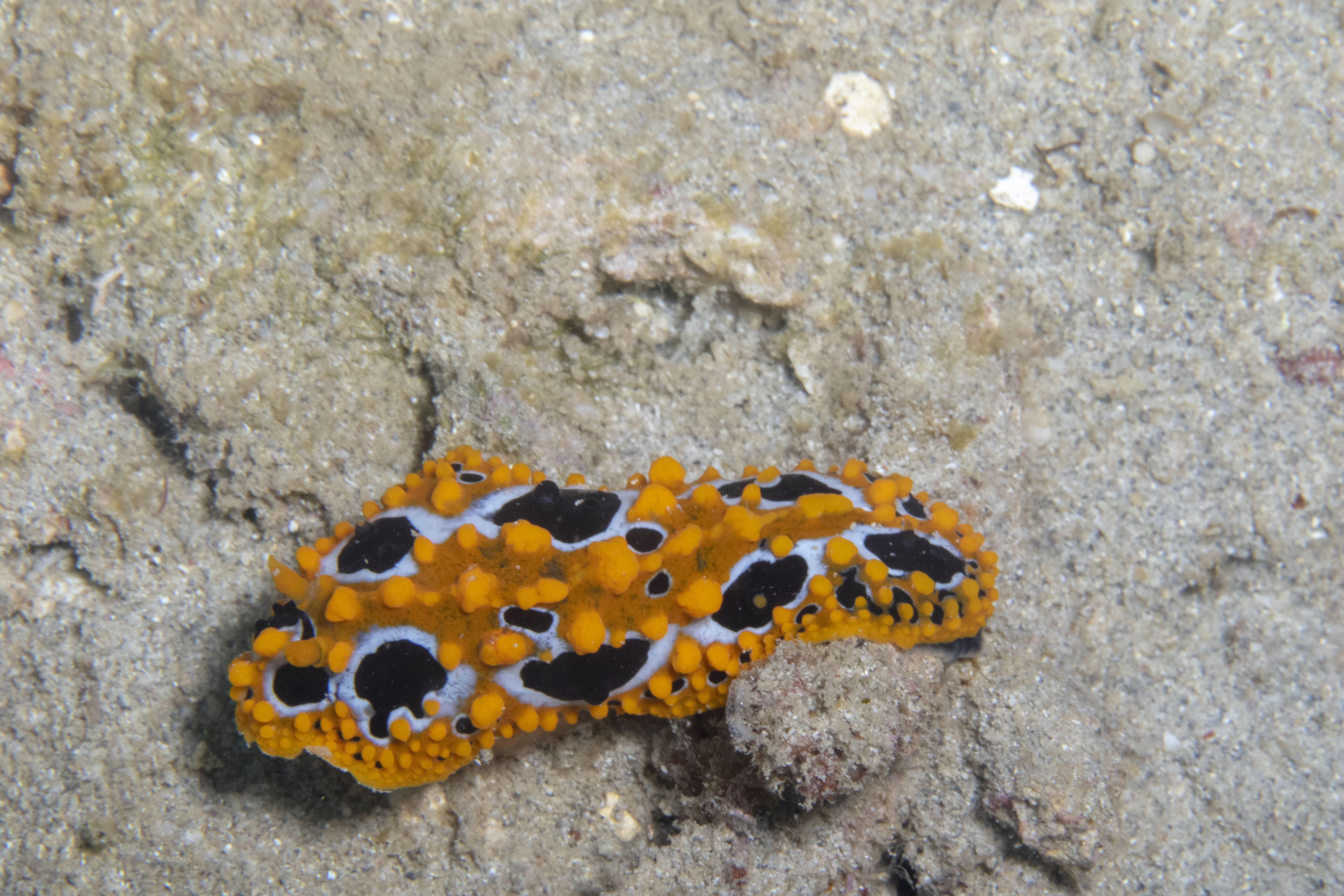 Ocellated Phyllidia Nudi
