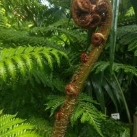 Giant Fern Fiddlehead
