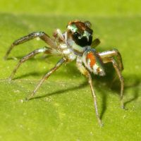 Jeweled Jumping Spider