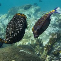 Dance of the White-spotted Boxfish