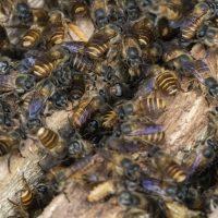 Balinese Beekeeping Project