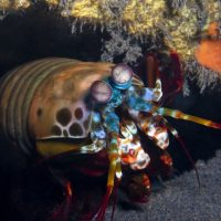 Peacock Mantis Shrimp (part 2)