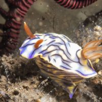 Nudibranchs (Day 2)