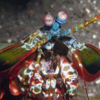 Peacock Mantis Shrimp (part 1)