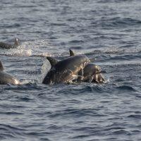 Dwarf Spinner Dolphins