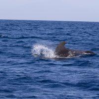 Short-fin Pilot Whales