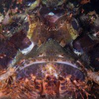 Grumpy Scorpionfish