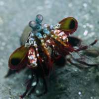 More Peacock Mantis Shrimp Video