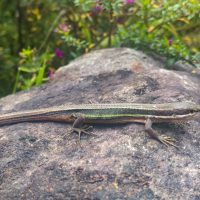 Formosa Grass Lizard