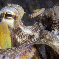 Coconut Octopus Close-up