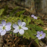 Some Spring Wildflowers