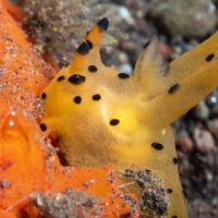 More Pikachu Nudibranchs