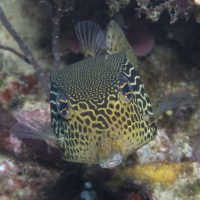 Solor or Reticulate Boxfish
