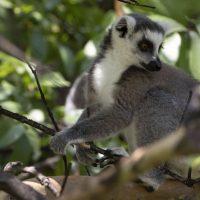 Rewind: Ring-tailed Lemur