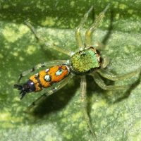 Orange and Green Jumping Spider
