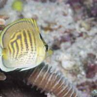 Spot Banded Butterfly Fish