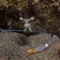 Orange-claw Cuapetes Shrimp