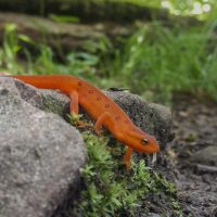 Juvenile Red-spotted Newts