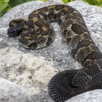 Timber Rattlesnakes at Wolf Rocks