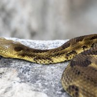 More Rattlesnakes