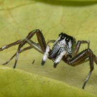 White-faced Jumping Spider