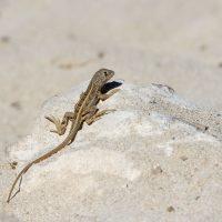 Madagascar Three-Eyed Lizard