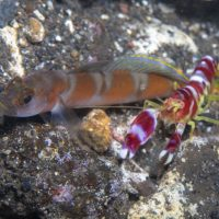 Flagtail Shrimp Goby and Randall's Snapping Shrimp