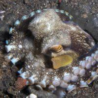 Coconut Octopus in Burrow