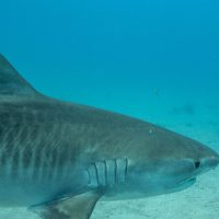 Salty Divers Shark Dive Videos