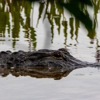 First Wild Alligator