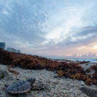 Sea Turtle Hatchlings (part 1)