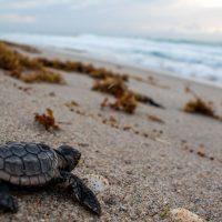 Sea Turtle Hatchlings (part 2)