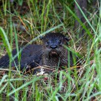 River Otter at Breakfast