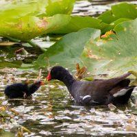 Feeding the Gallinule Chick