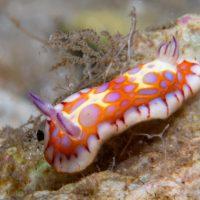 Nudibranch Week Day 1: Harlequin Blue Sea Goddess